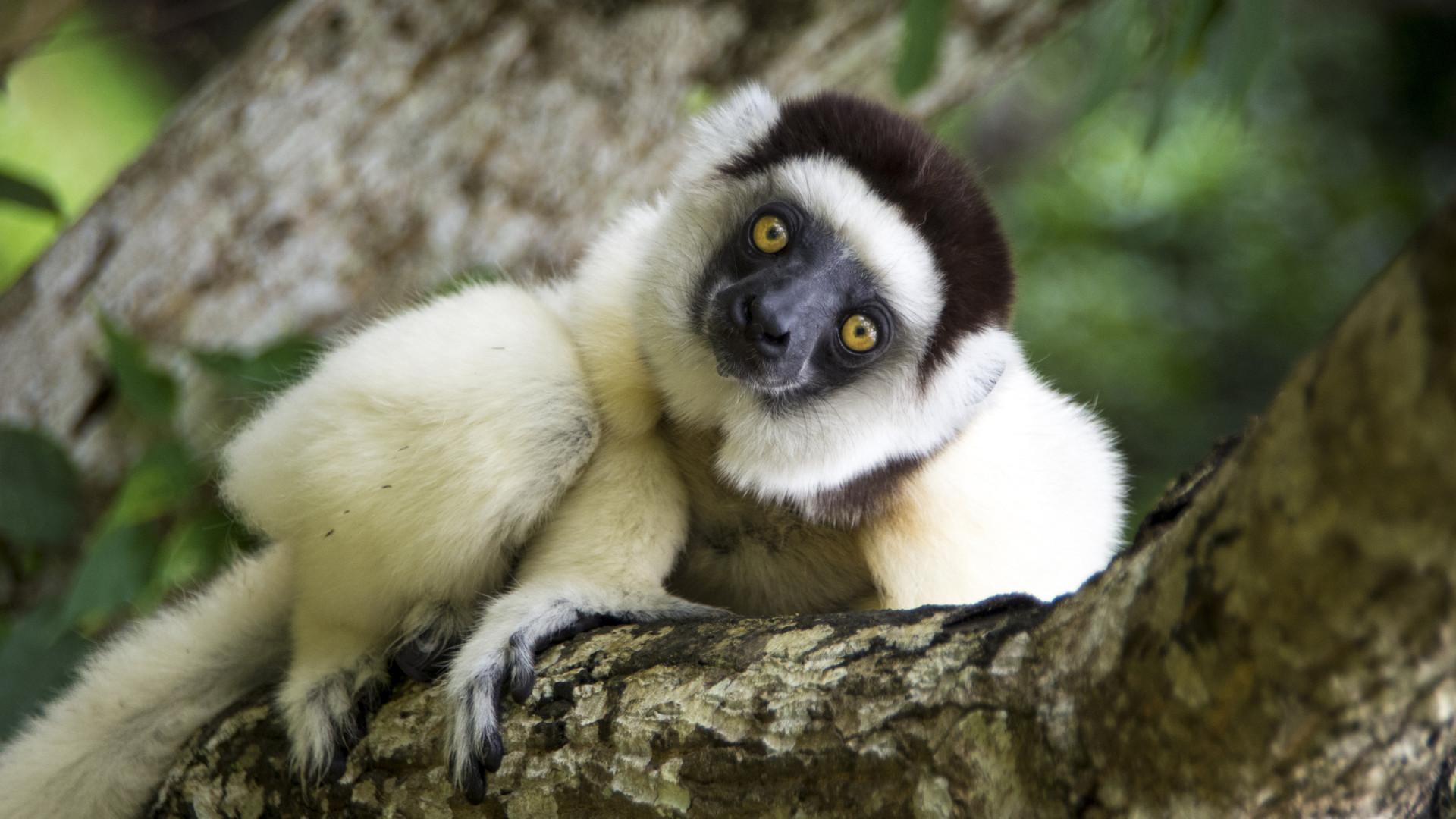 Custom Travel Planner Network-Madagascar-Lemur-Sifaka