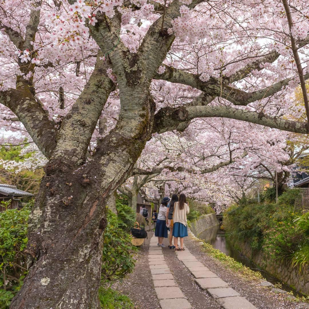 Custom-Travel-Planner-Network-1-Japan-Philosophers-Walk-Cherry-Blossoms