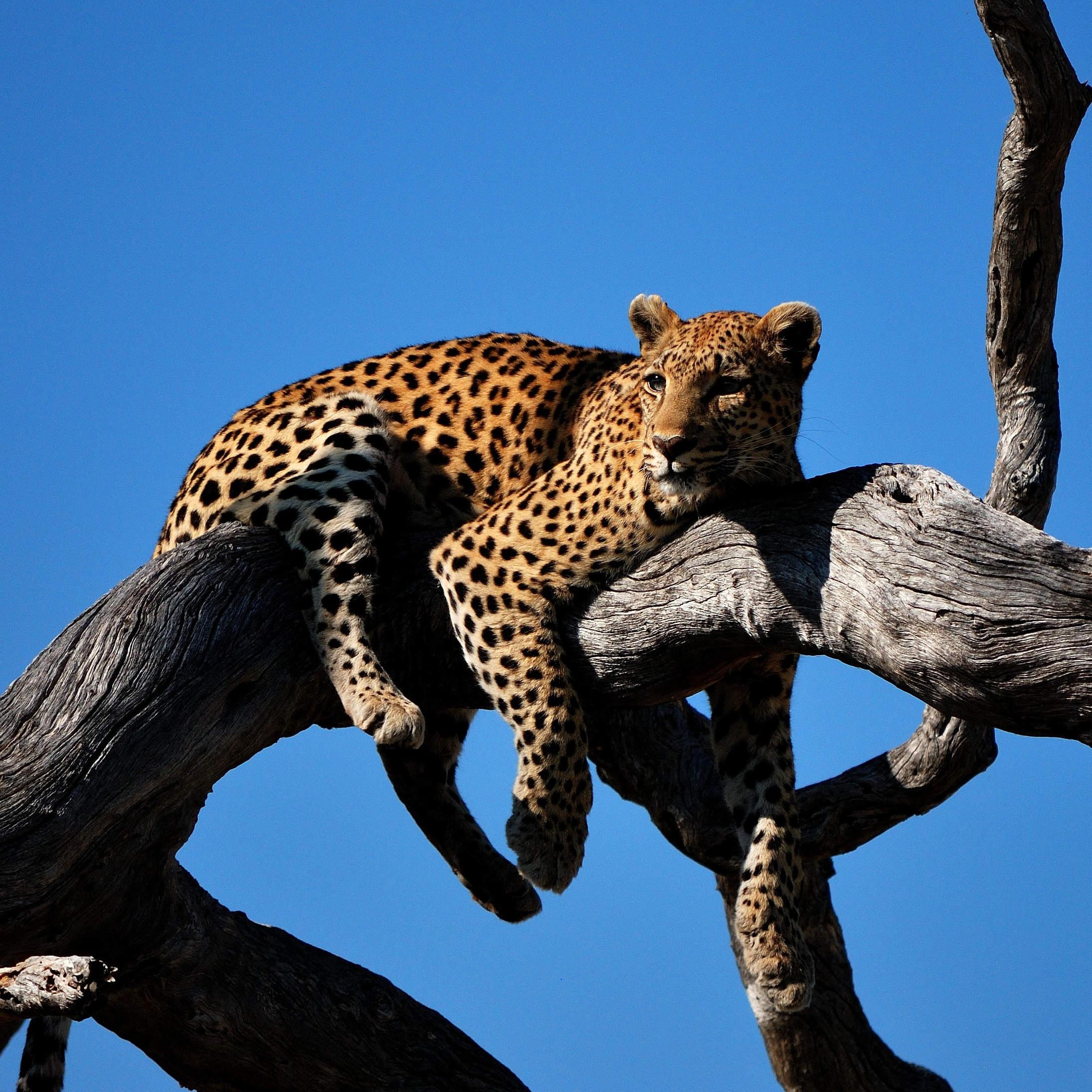 Custom-Travel-Planner-Network-10-Botswana-Leopard-Big-Cats