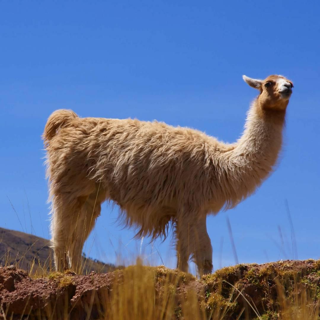 Custom-Travel-Planner-Network-2-Peru-Llama