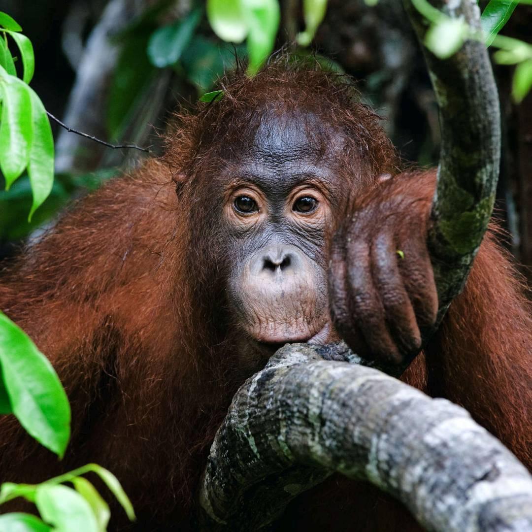 Custom-Travel-Planner-Network-3-Indonesia-Orangutan-