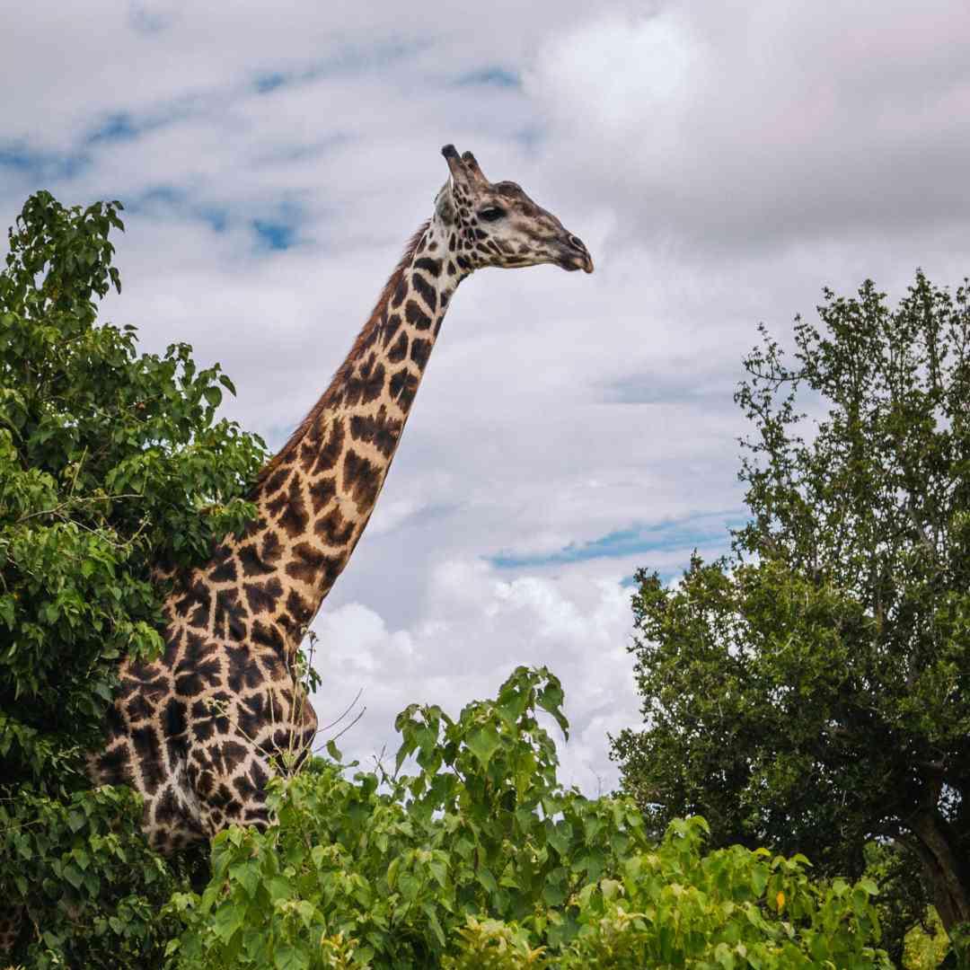 Custom-Travel-Planner-Network-6-SM-Botswana-Chobe-NP-Giraffe