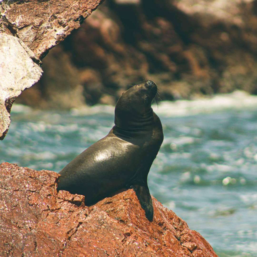 Custom-Travel-Planner-Network-7-Peru-Paracas-Sea-Lions