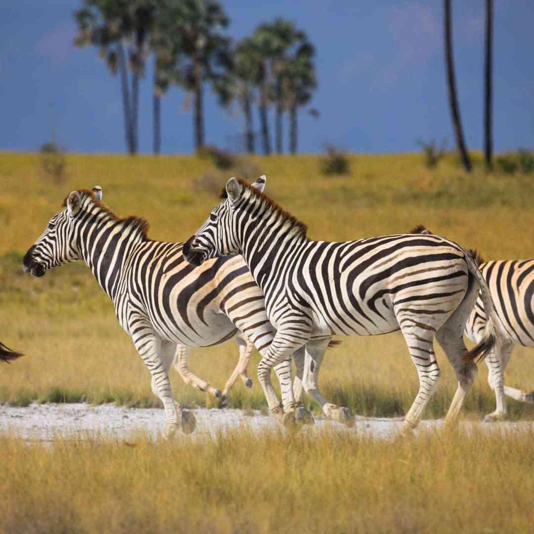 Custom-Travel-Planner-Network-9-SM-Botswana-Makgadikgadi-Pans-National-Park-Zebra-Migration