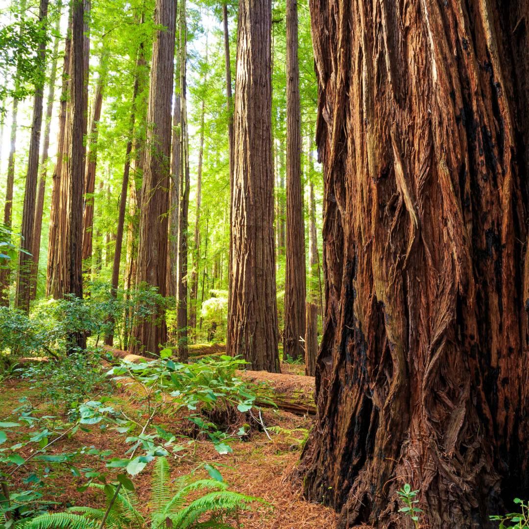 ustom-Travel-Planner-Network-7-California-Redwoods