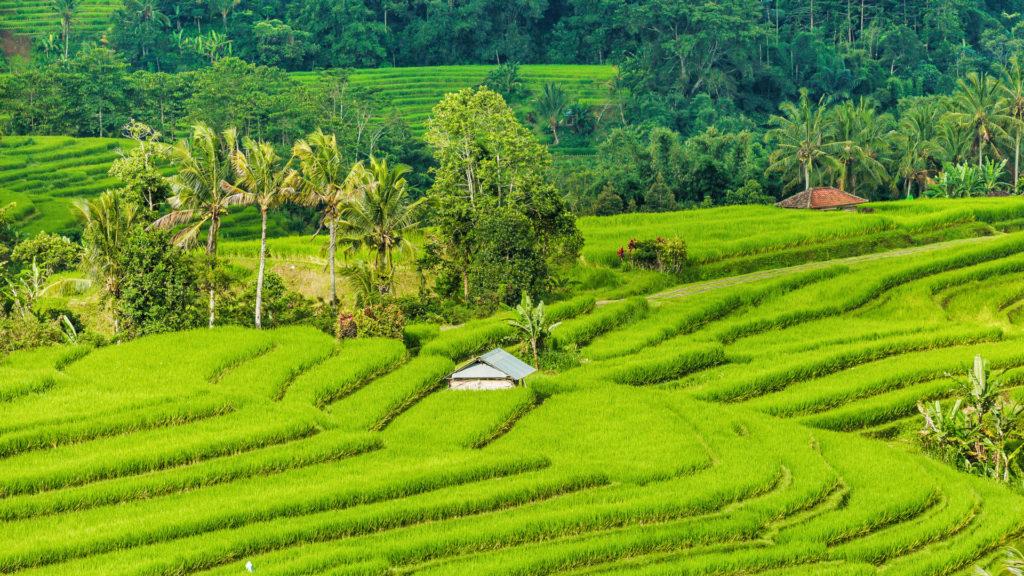 Custom Travel Planners Network-Bali-Rice Fields