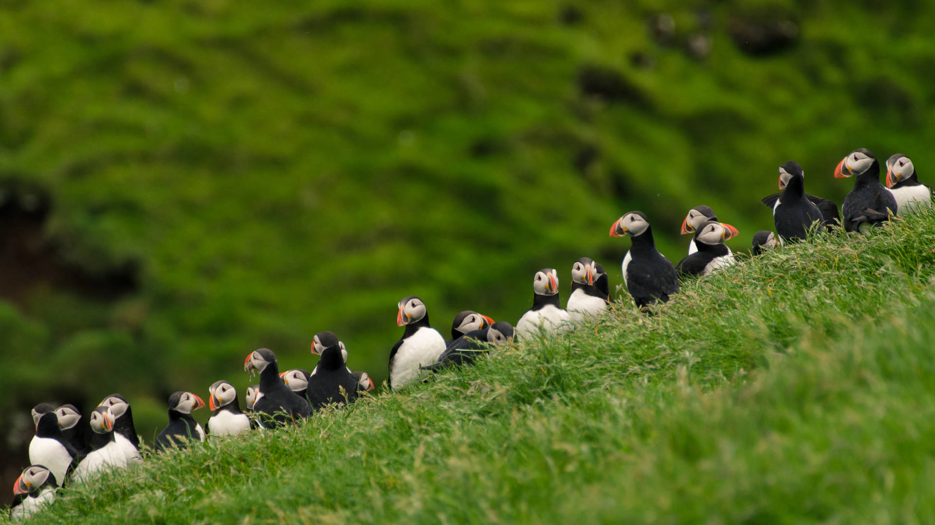 Custom Travel Planner Network-Faroe Islands-Mykines-Puffins