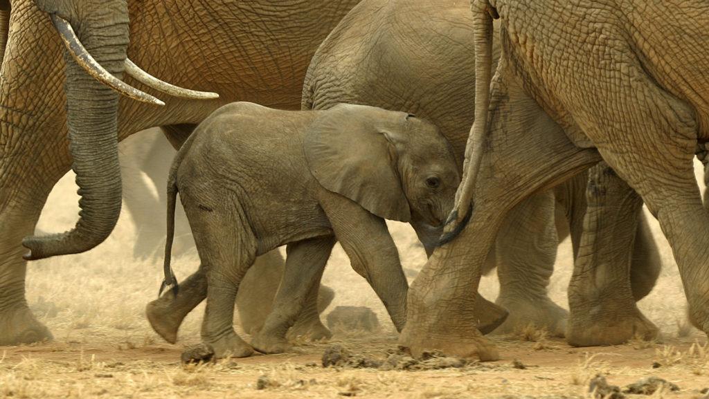 Custom Travel Planners Network-Kenya-African Elephants