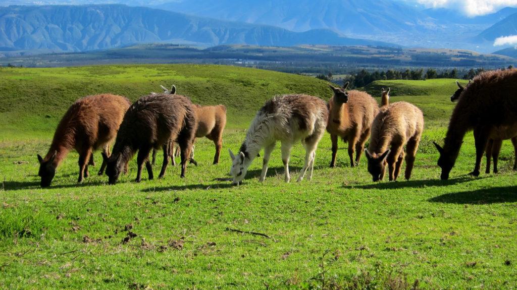 Custom Travel Planner Network-Ecuador-Llamas