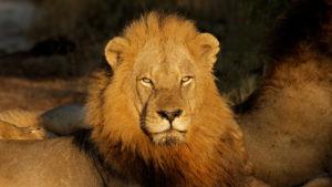 Custom Travel Planner Network - South Africa - Stately Lion