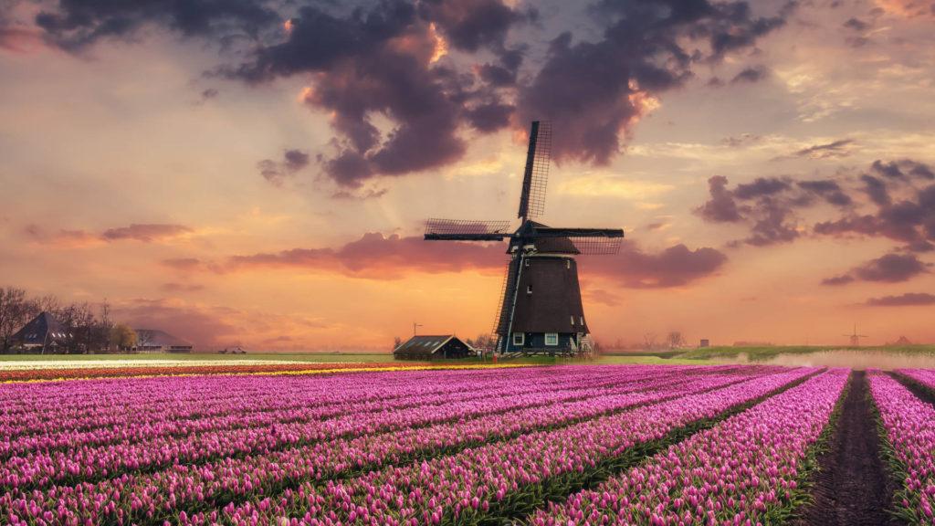 Custom Travel Planner Network-Netherlands-Holland-Wilndmill over Tulip Farm