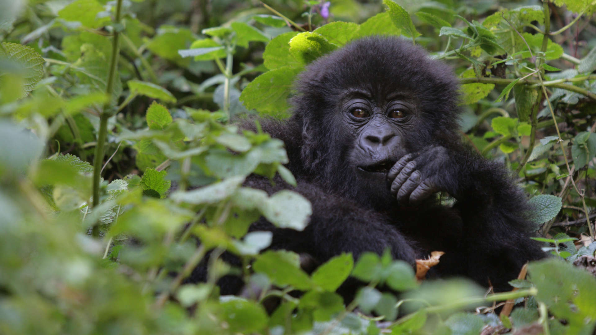 Custom Travel Planner - Rwanda-Gorilla-D15049819