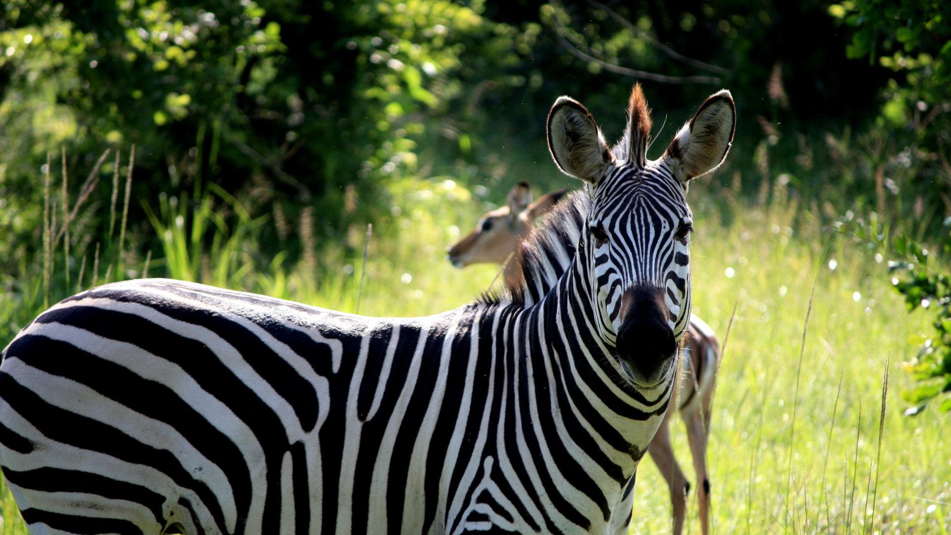 Custom Travel Planner Network-Zambia-Zebra at South Luangwa National Park