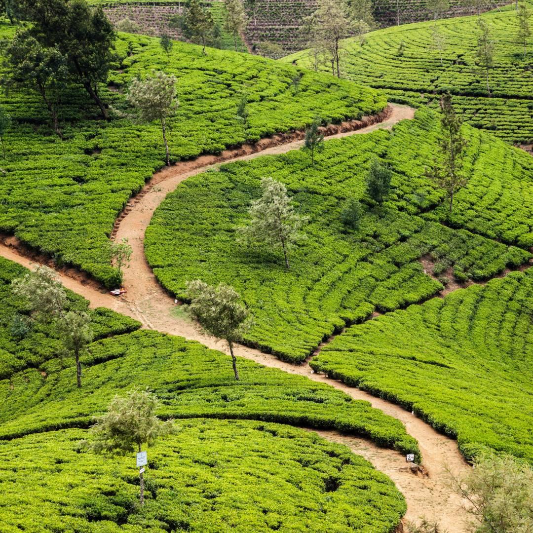 Custom-Travel-Planner-Network-7-SM-Sri-Lanka-Tea-Plantation-Nuwara-Eliya