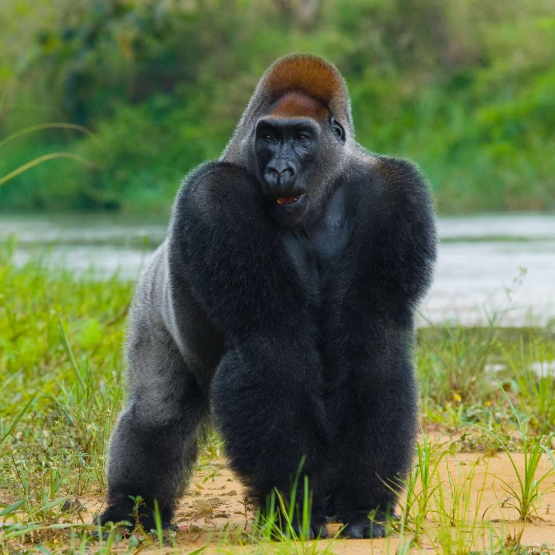Custom-Travel-Planner-Network-1-Africa-Congo-Lowland-Gorilla
