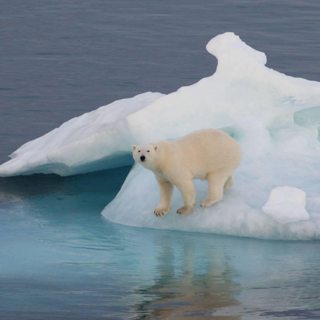 Custom-Travel-Planner-Network-10-Greenland-Polar-Bear-on-Ice
