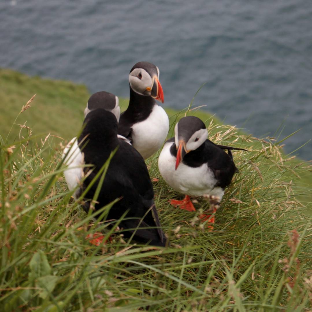 Custom-Travel-Planner-Network-3-Faroe-Islands-Puffins