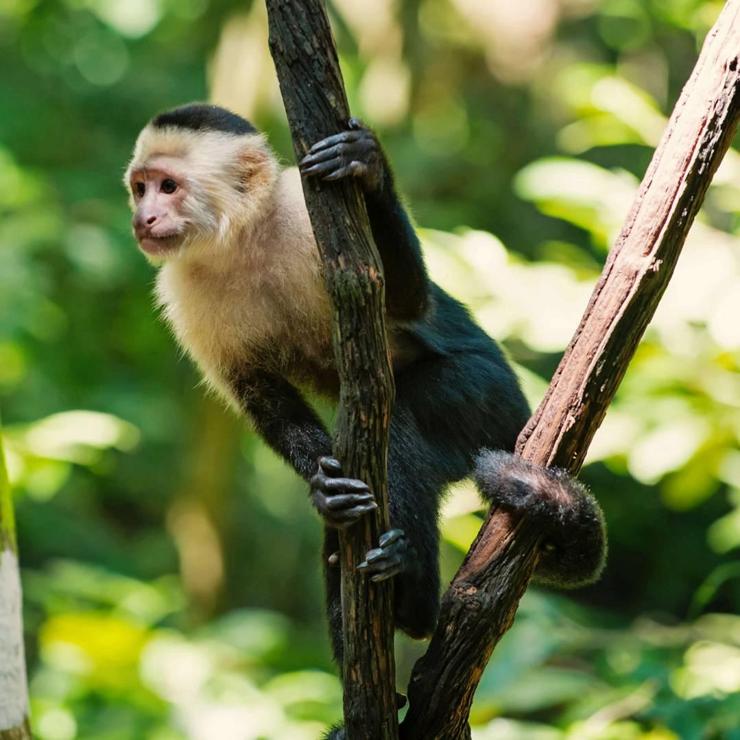 Custom-Travel-Planner-Network-5-Honduras-Rainforest-Capuchin-Monkey