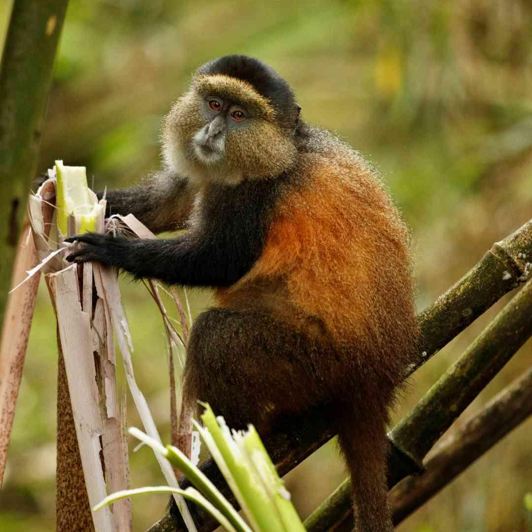 Custom-Travel-Planner-Network-5-SM-Rwanda-Golden-Monkey