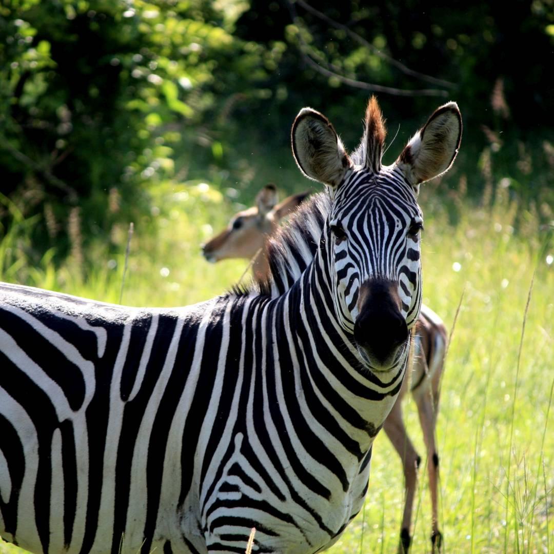 Custom-Travel-Planner-Network-6-Zambia-Zebra-at-S-Luangwa National Park