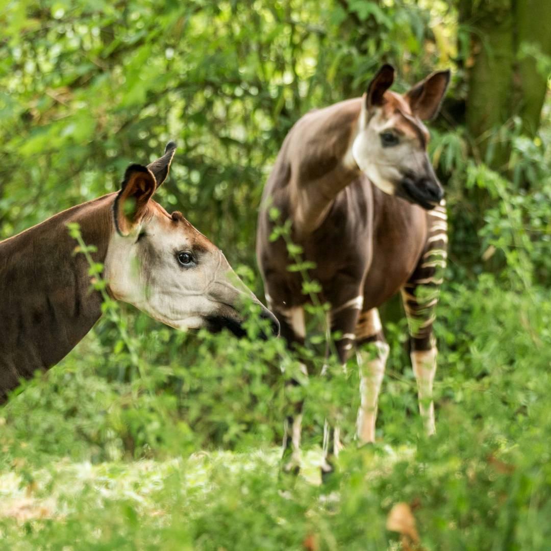Custom-Travel-Planner-Network-7-Africa-Congo-Okapi-Hnstoni