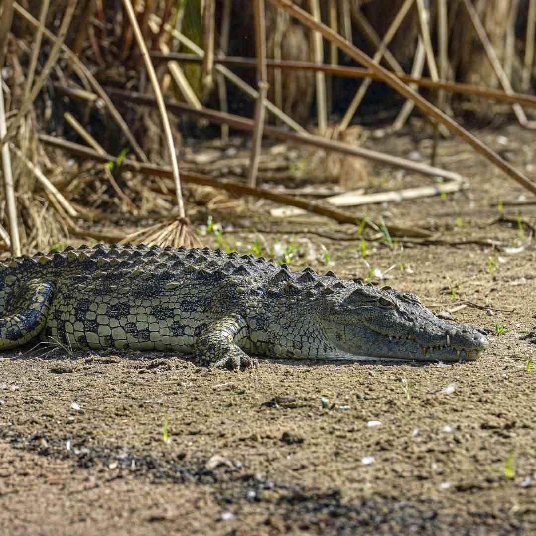 Custom-Travel-Planner-Network-9-SM-Rwanda-Akagera-Crocodile
