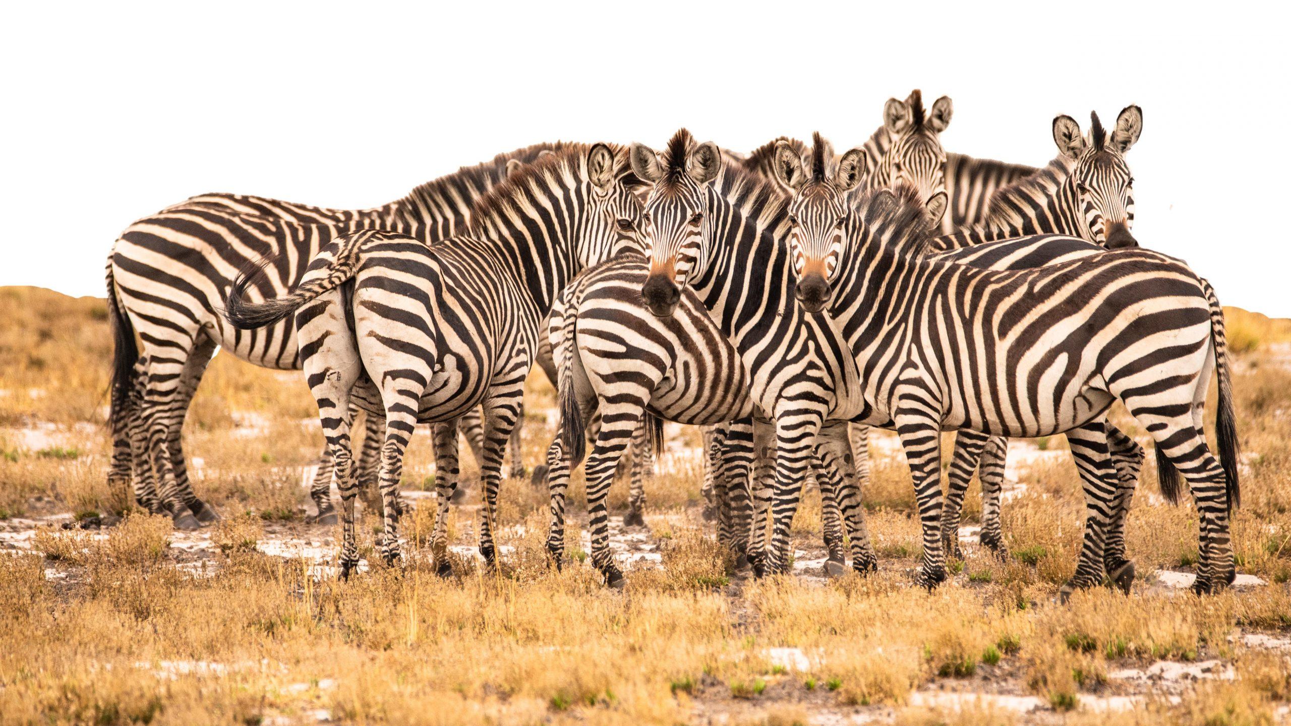 Custom Travel Planner Network-Zambia-Zebra Herd