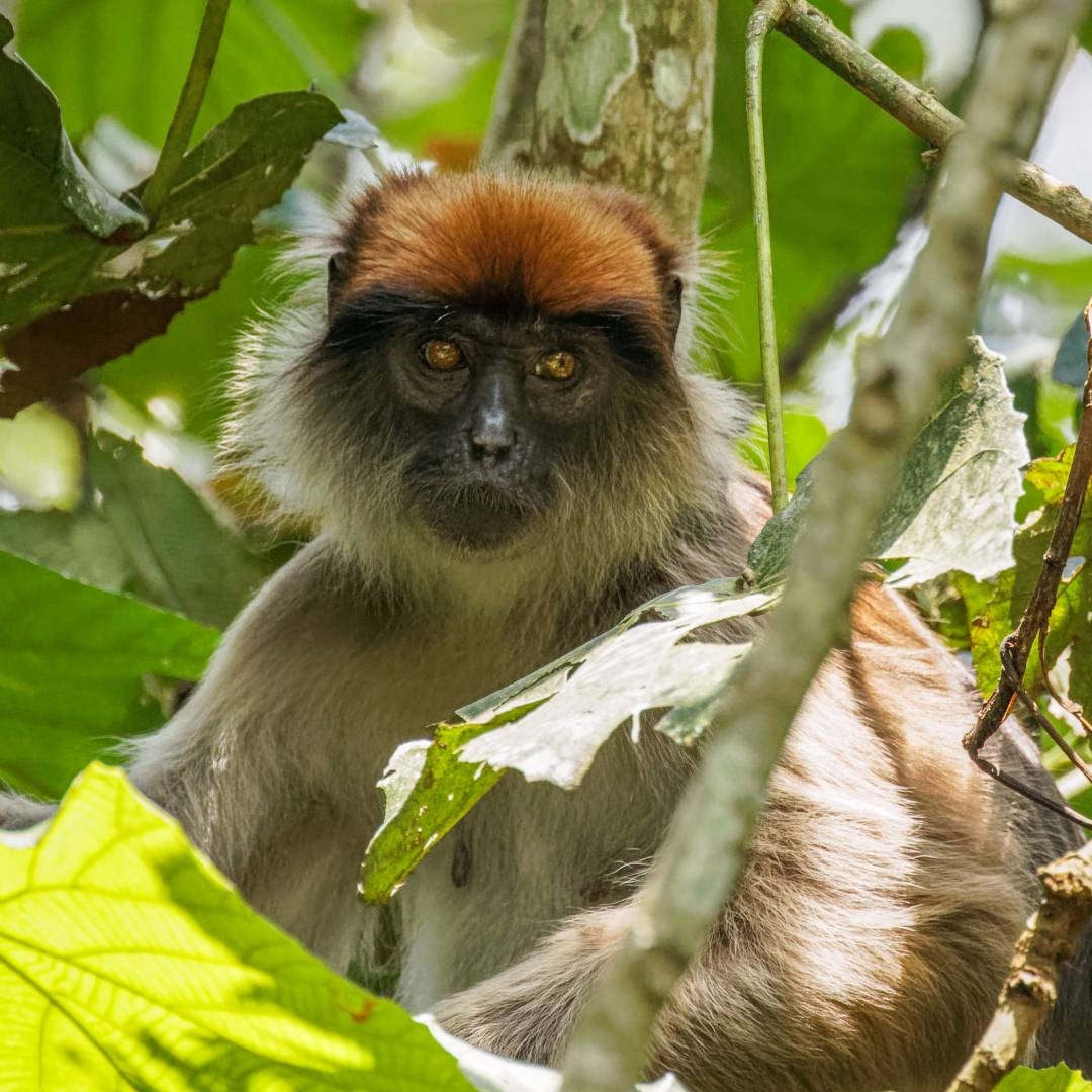 Custom-Travel-Planner-Network-10-SM-Uganda-Kibale-Red-Colobus-Monkey
