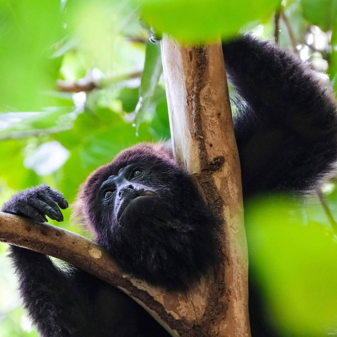 Custom-Travel-Planner-Network-3-Nicaragua-Howler-Monkey