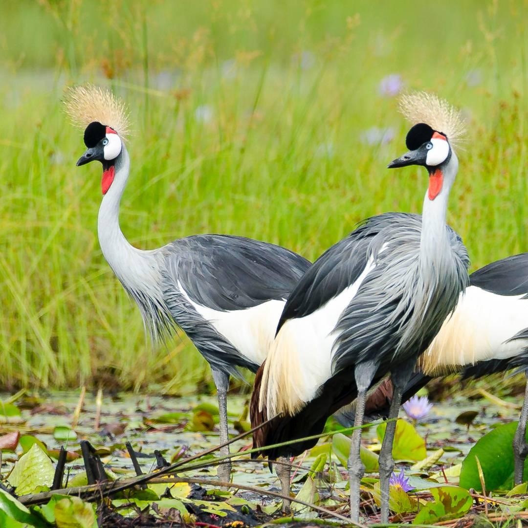 Custom-Travel-Planner-Network-3-SM-Uganda-Mabamba-Swamp-Grey-Crowned-Crane