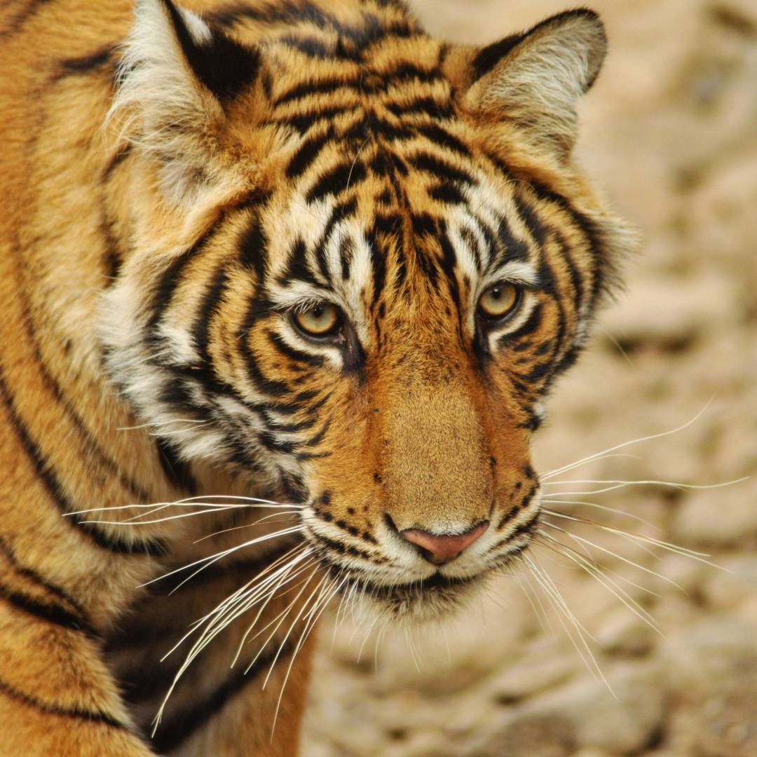 Custom-Travel-Planner-Network-4-India-ranthambore-tiger-reserve