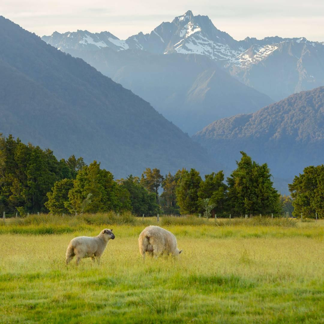 Custom-Travel-Planner-Network-4-New-Zealand-Sheeps-Wool