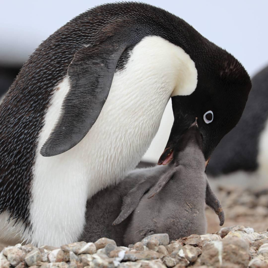 Custom-Travel-Planner-Network-6-SM-Antarctica-Chick-Hatching