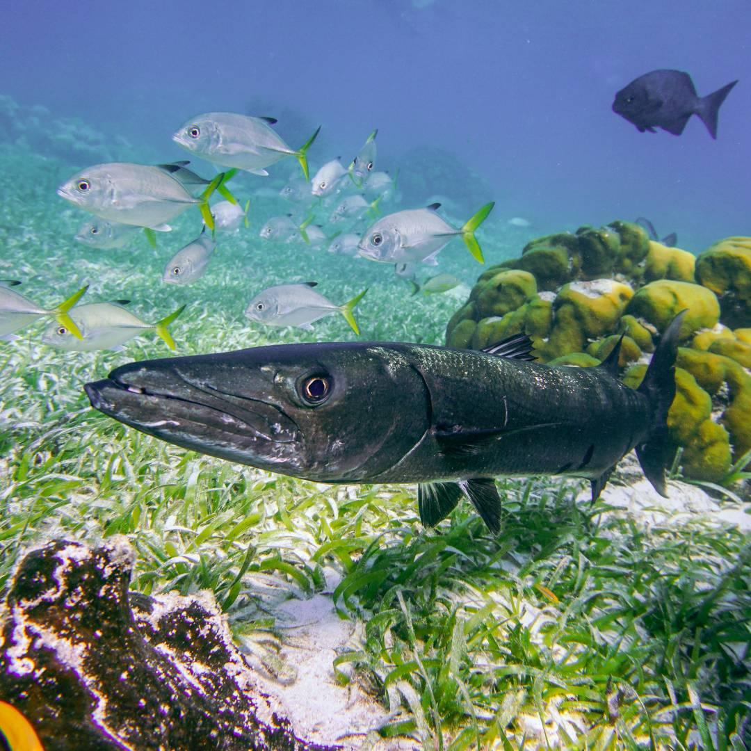 Custom-Travel-Planner-Network-6-SM-Belize-Caye-Caulker-Snorkeling-Barracud