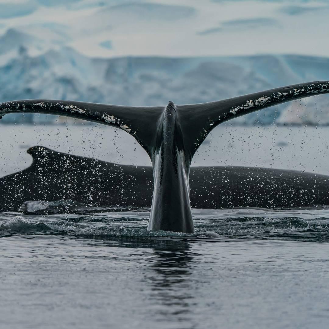 Custom-Travel-Planner-Network-7-SM-Antarctica-Humpback-Whales
