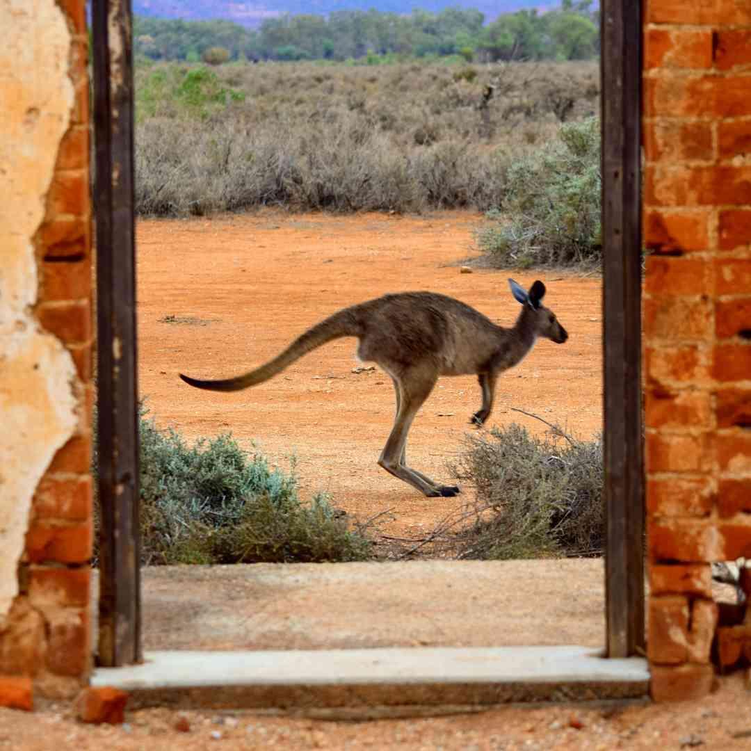 Custom-Travel-Planner-Network-7-SM-Australia-Kangaroo-crossing-road